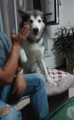 ハスキー犬の『ハイタッチ』がまさかの『ビンタ』になった瞬間