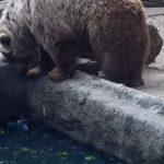 池で溺れているカラス、熊に食べられると思いきや!熊の男前な行動に惚れてまうやろ〜