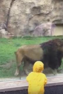 子供でも容赦ない百獣の王ライオン