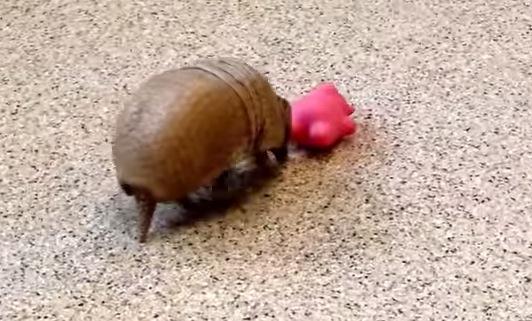 意外な一面に癒される〜おもちゃとジャレ合うアルマジロの動画