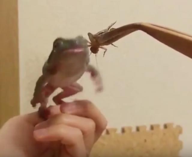 カエルがエサを捕り損ねるおマヌケ動画