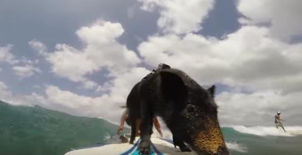 """サーフィンができる豚""""Kama""""の波乗り動画"""