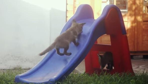 野生の子ギツネが滑り台と格闘している動画