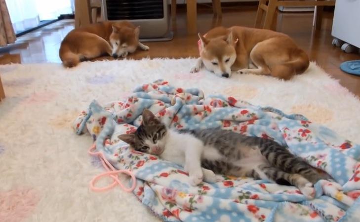 子猫と柴犬がぬくぬくウトウト。平和な時間に癒される〜