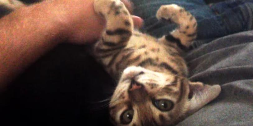 猫好きにはたまらない!甘えた子猫がミャウミャウ話しかけてくる動画
