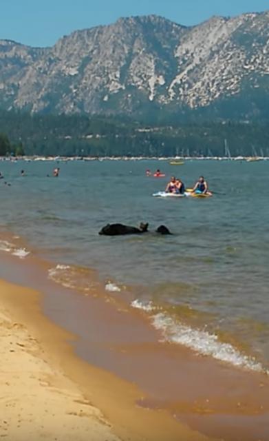 湖の岸辺ではしゃぐ黒い物体は熊の親子でした