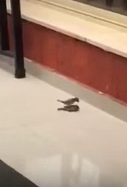 窓ガラスにぶつかった仲間を看病する優しい鳥