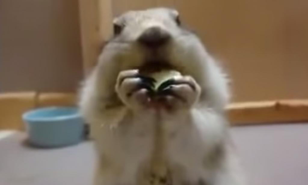 キュウリをめちゃめちゃ美味しそうに食べるプレーリードッグの動画