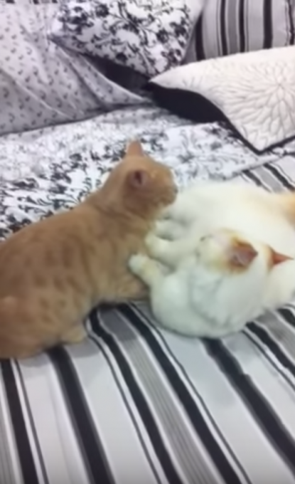 短足猫の喧嘩が可愛すぎる!