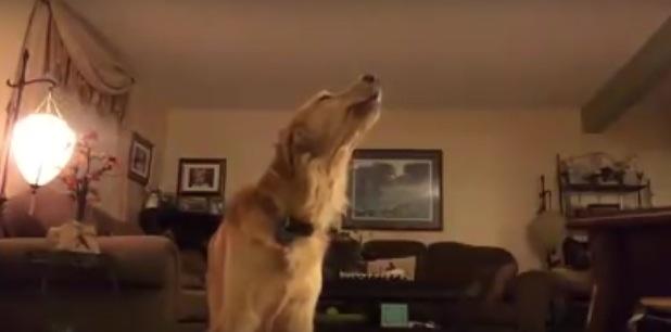 いい声でピアノとセッションする犬