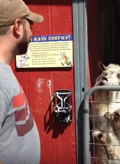 必死に何かを訴えているヤギに笑ってしまう動画