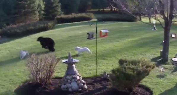 熊に勇敢に立ち向かう犬がかっこいい!