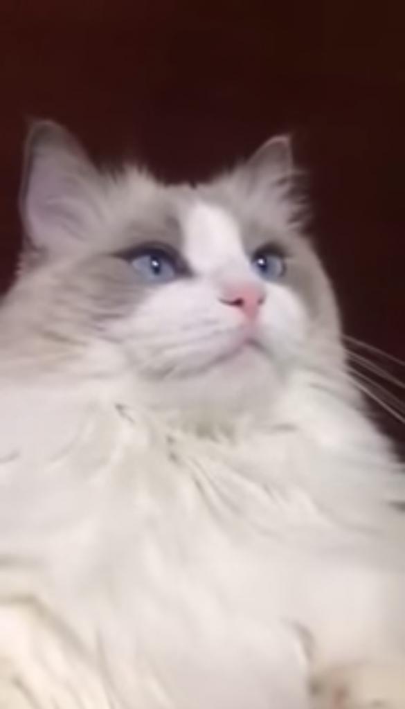 歯磨きシャカシャカされて超ビックリする猫