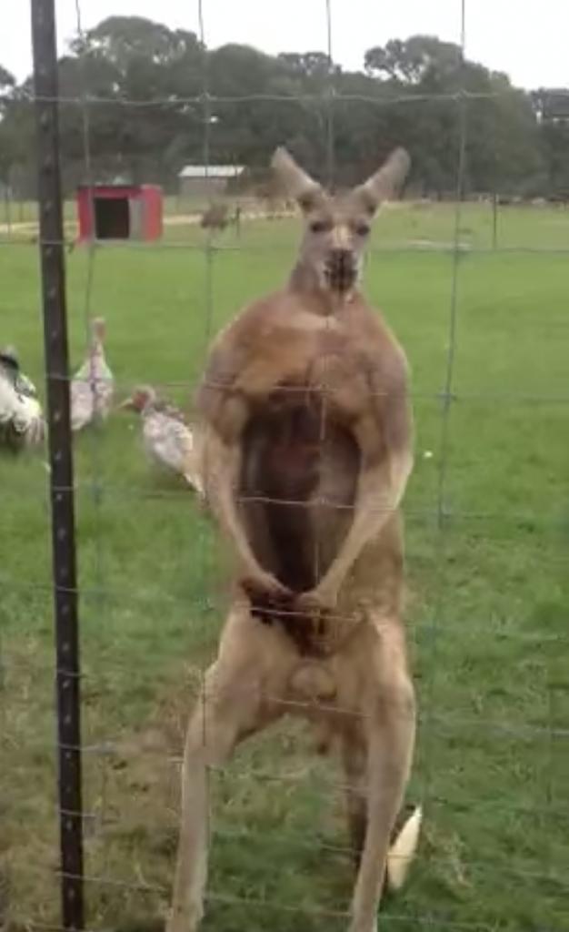 ボディービルダーなみにマッチョなカンガルーが自慢の筋肉を披露!