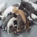 16匹の子猫に貪られるママ猫。。。大変そう