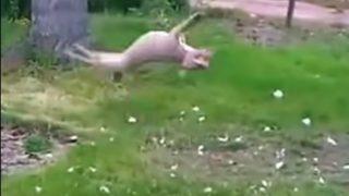 見事なバク転宙返りをする犬が凄い!