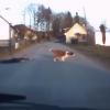人をリードして道路を横断するパワフルな犬