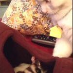 フクロモモンガの赤ちゃんを見守る猫