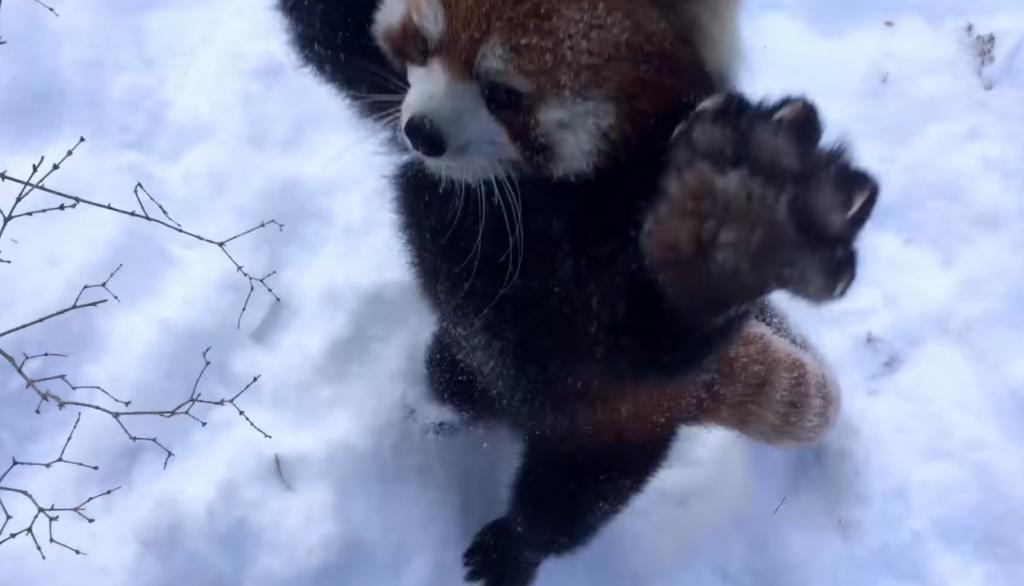 雪の中で無邪気にはしゃぐレッサーパンダが可愛いすぎる!