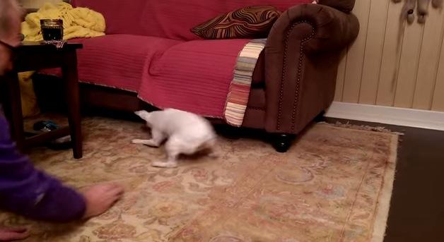 ご主人が投げたボールならソファーの隙間へも取りに行く!忠実すぎる犬現る