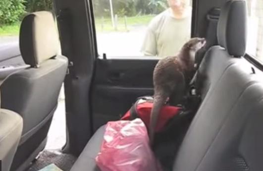 車内に侵入したカワウソが愛嬌ありすぎ!