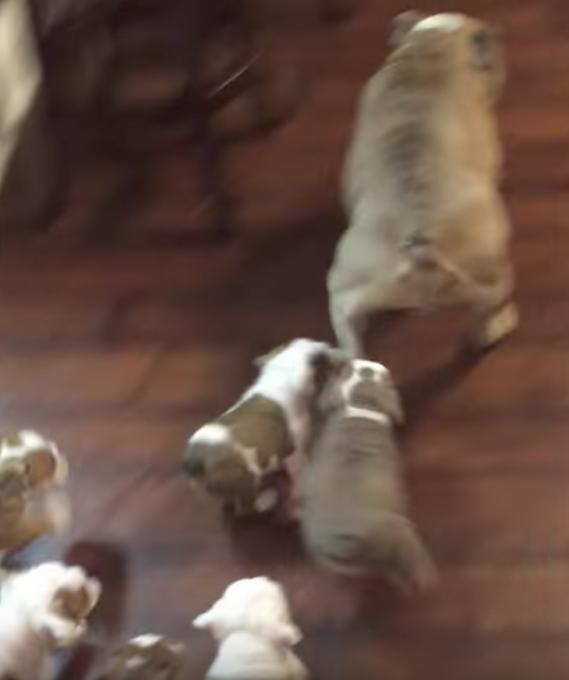 9匹の子犬の相手にギブアップしたパパ犬