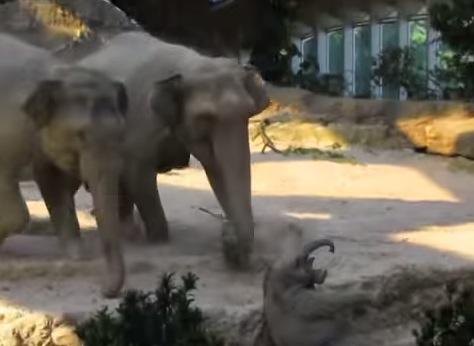 段差を登ろうと奮闘中の赤ちゃんゾウが転落。その時の周りのゾウの反応が凄い!