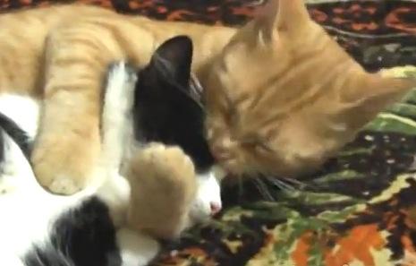 寝ている猫を愛おしそうに抱きしめる猫