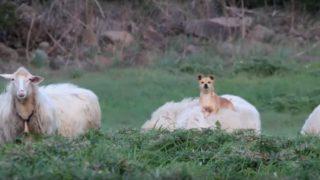 なんて優雅な!羊の背中の上でくつろぐワンちゃん