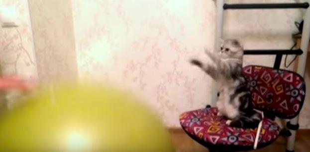 バランスボールをポンポンと弾ませると一緒に弾む猫が可愛い!