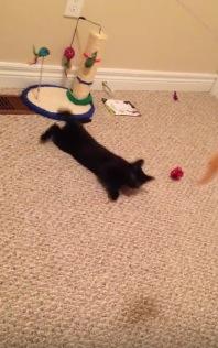 おもちゃを追いかけて目を回す猫