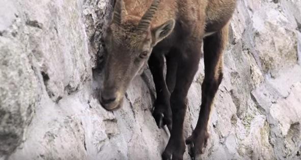 心臓に悪すぎる!すごい場所で食事しているヤギの動画