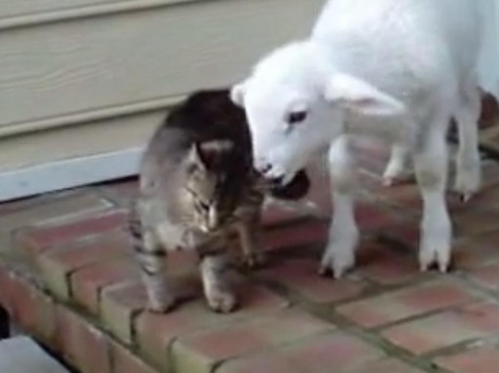 子ヤギが猫の耳をムシャムシャしている動画