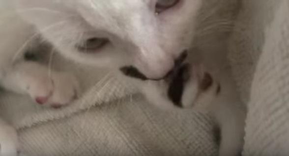 子猫の指しゃぶりが可愛いすぎる動画
