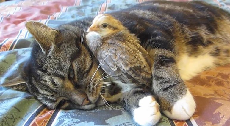 摩訶不思議!猫とヒナが仲良く過ごしてます