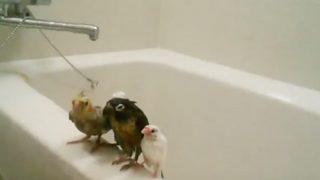 お風呂場で小鳥4羽が仲良くシャワーを浴びるおもしろ動画