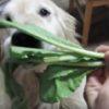 前世はヤギかなんかかしら。。野菜をムシャムシャ食べる犬