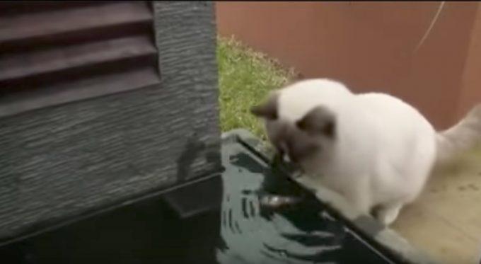 打ち上げられた魚を救出する猫