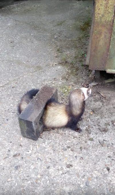 ブロックの穴から抜け出せなくなったフェレットの救出劇