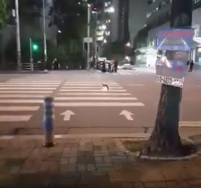 青信号になって横断歩道をわたる賢い猫