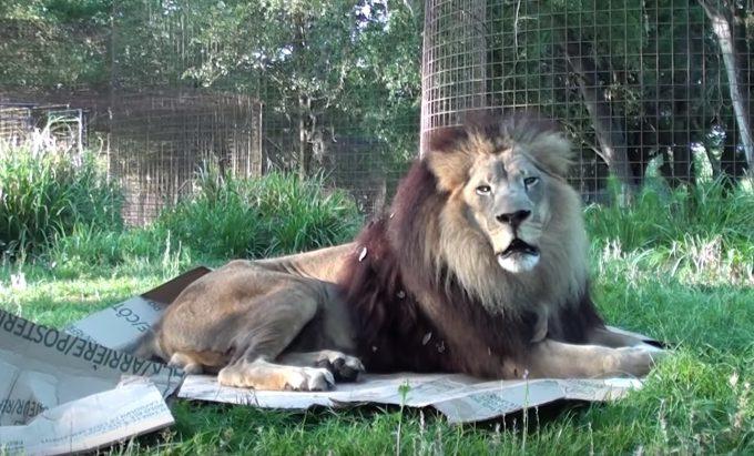 ライオンとダンボール箱