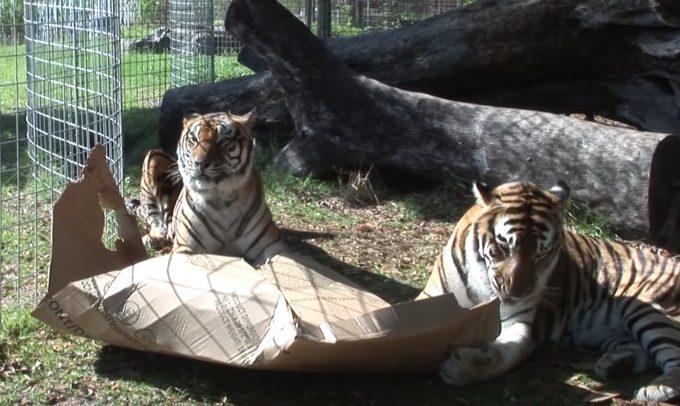 トラとダンボール箱