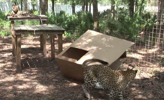 ヒョウとダンボール箱