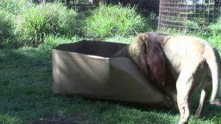 おっきなネコ科動物もダンボール箱が好きなのか試してみた!