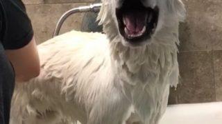 お風呂中「アワアワ」言う犬がなんだかおもしろい