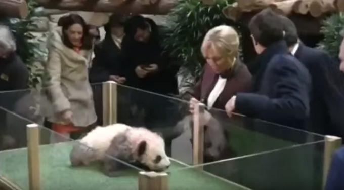 初のフランス生まれの子パンダ、大統領夫人を威嚇!