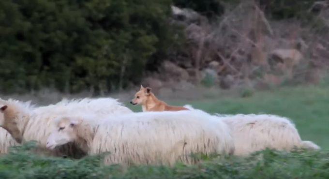 羊の背中の上で優雅にくつろぐワンちゃん