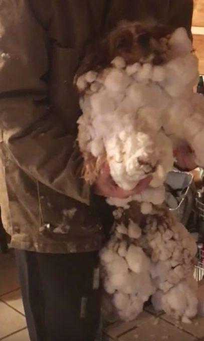 ロングヘアのワンちゃん、雪遊びで雪だるまになる