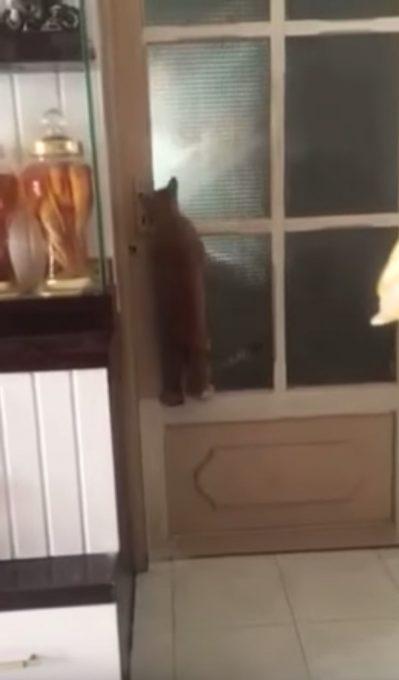 賢く器用にドアを開ける猫