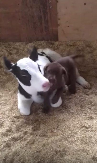 子犬と子牛の仲良し動画